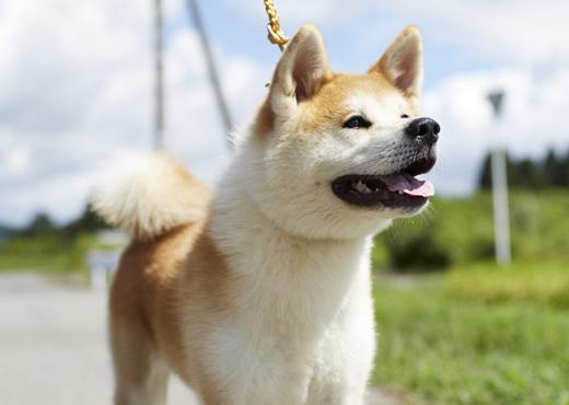 秋田犬の画像 p1_31
